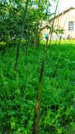 Fresh Bamboo Shoots Spring 2016