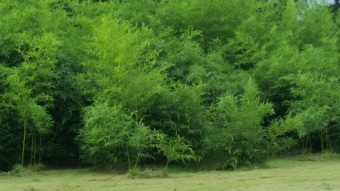 I'm pruning some of the lower branches of the Bamboo trees to form treetops!